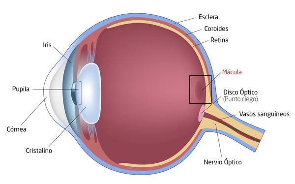 mácula ocular