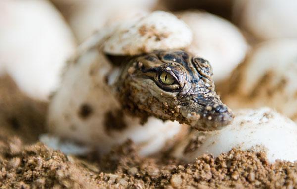 Nacimiento de un cocodrilo