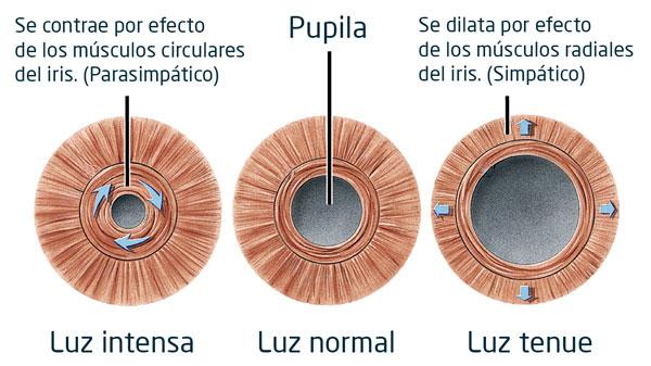 Dilatación pupilar