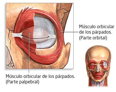 Musculatura palpebral